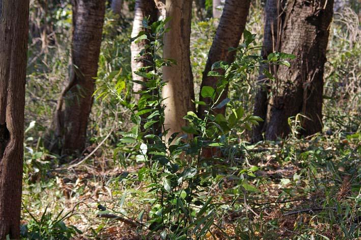 杉林のカラスザンショウの刈り取りほぼ終了1・30六国見山_c0014967_21134547.jpg