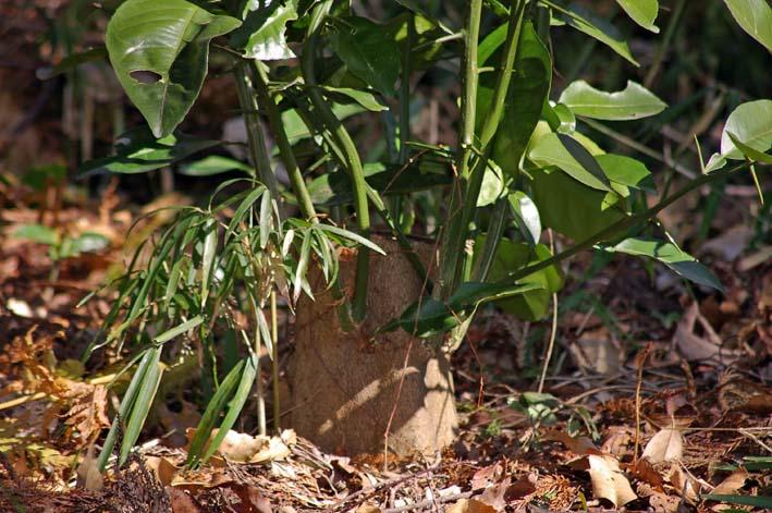 杉林のカラスザンショウの刈り取りほぼ終了1・30六国見山_c0014967_21135982.jpg