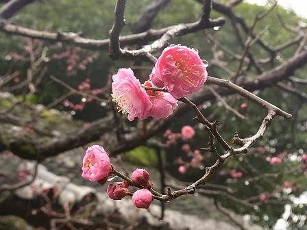 紅梅が咲き始めました_e0251278_11213648.jpg