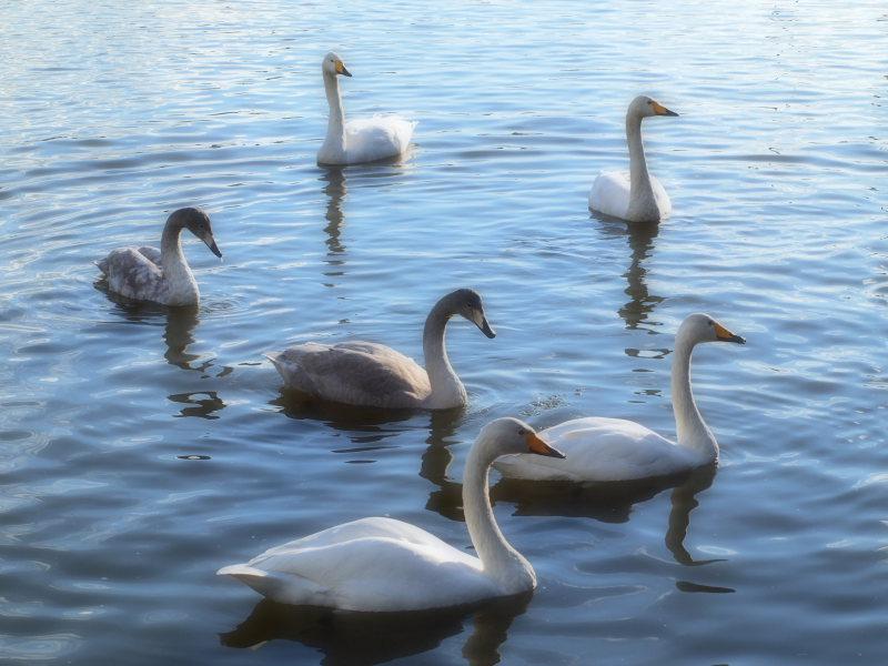 白鳥のロンド_e0169421_11324767.jpg