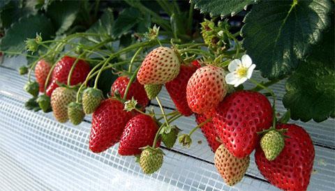 イチゴ狩りシーズンたけなわです_a0151444_9445359.jpg