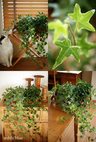 ivy green  お部屋にアイビーグリーン_e0253364_11174783.jpg
