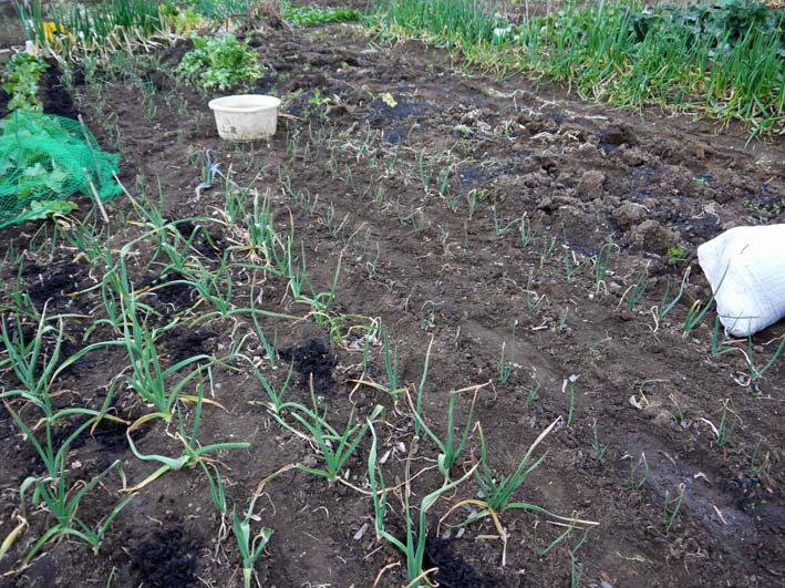 タマネギ、ニンニク、キャベツに追肥&馬鈴薯の土作り:2・4_c0014967_17155694.jpg