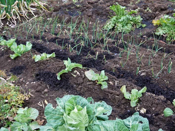 タマネギ、ニンニク、キャベツに追肥&馬鈴薯の土作り:2・4_c0014967_1718458.jpg