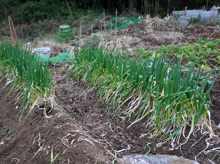 タマネギ、ニンニク、キャベツに追肥&馬鈴薯の土作り:2・4_c0014967_17212423.jpg