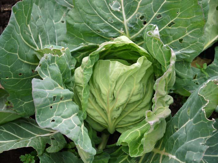 タマネギ、ニンニク、キャベツに追肥&馬鈴薯の土作り:2・4_c0014967_17213861.jpg