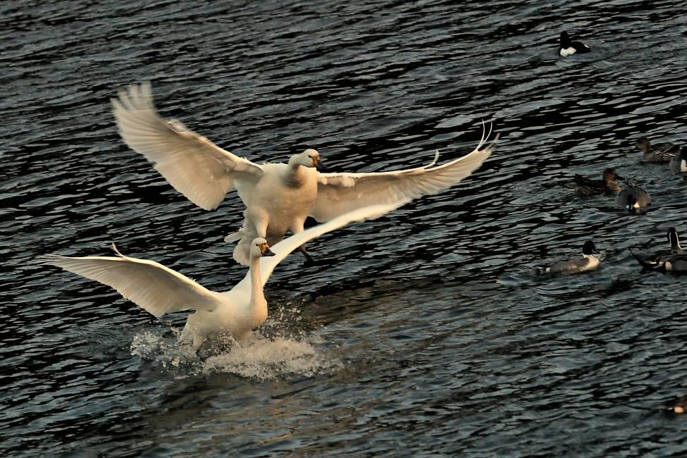 夕方の白鳥_b0223668_8395563.jpg