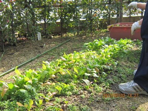 かぶらの収穫 「いやさか苑畑にて」_a0158095_1156352.jpg