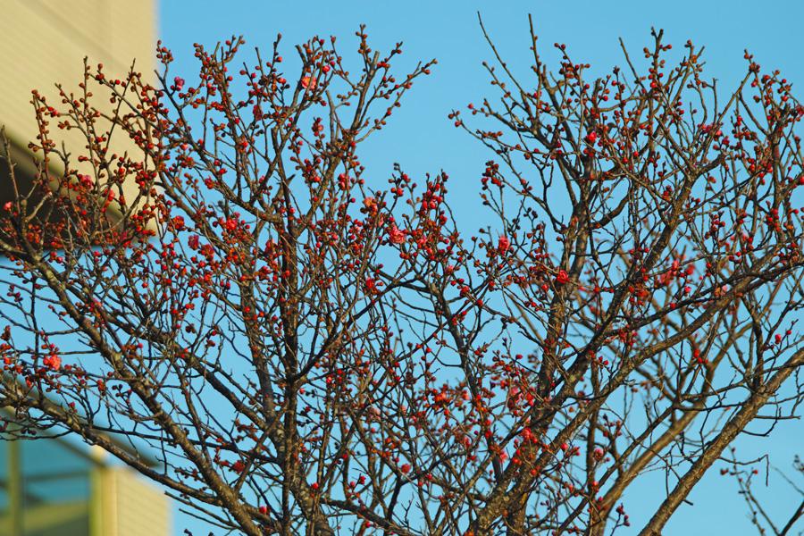 ゆいの花公園の梅が開花。_c0223825_22174347.jpg