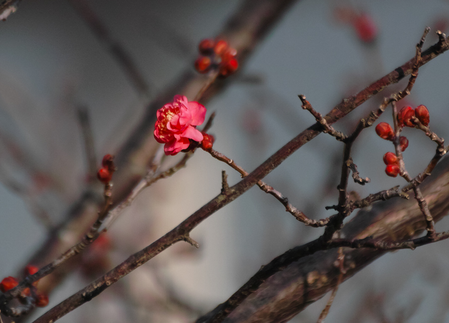 ゆいの花公園の梅が開花。_c0223825_22185152.jpg