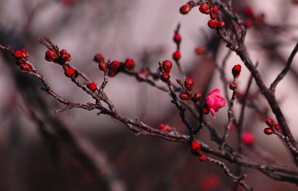 ゆいの花公園の梅が開花。_c0223825_22213853.jpg
