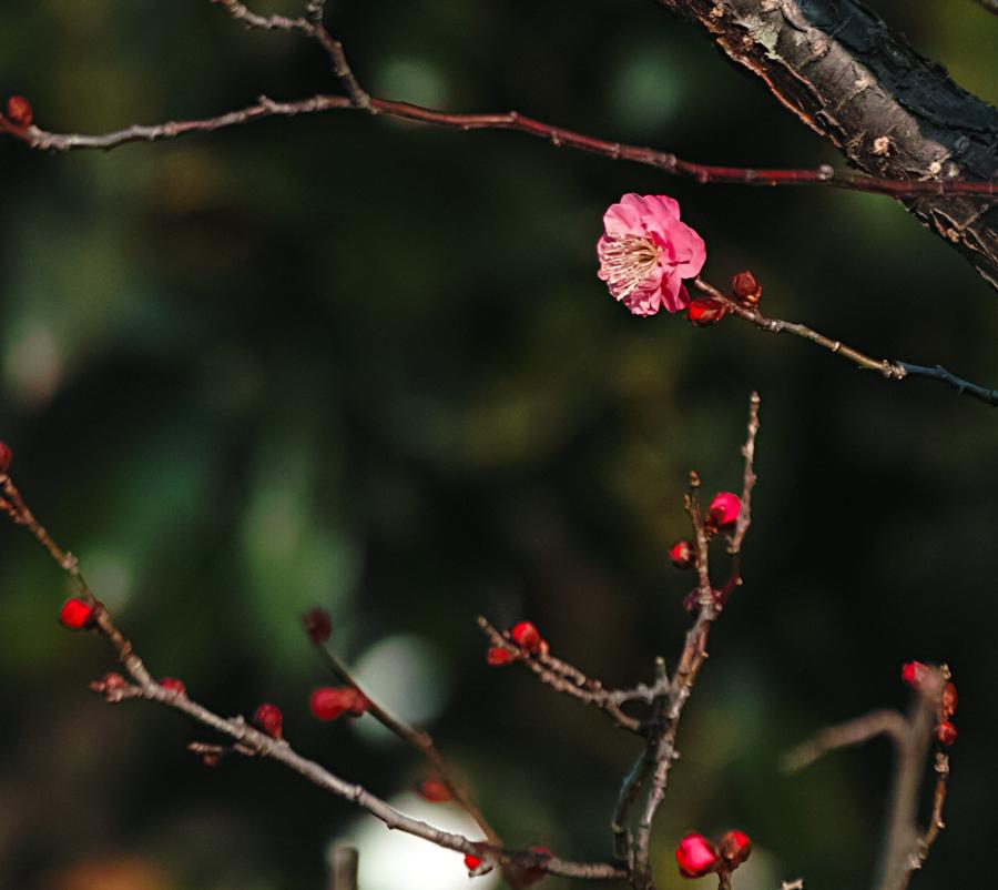 ゆいの花公園の梅が開花。_c0223825_2223522.jpg