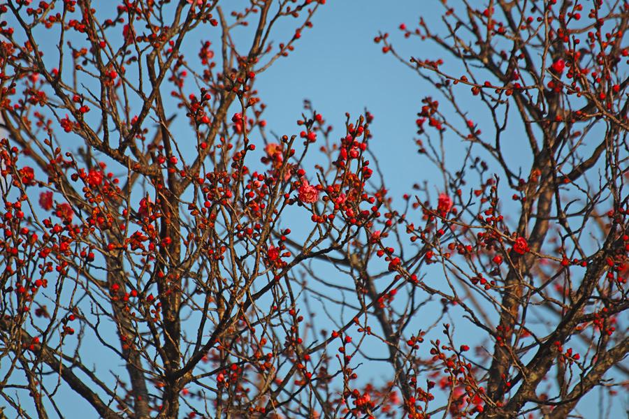 ゆいの花公園の梅が開花。_c0223825_22262543.jpg