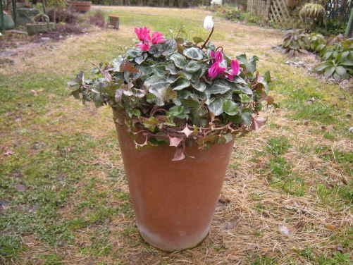ガーデンシクラメンの ・・・ 寄せ植え ~_d0145675_1915378.jpg