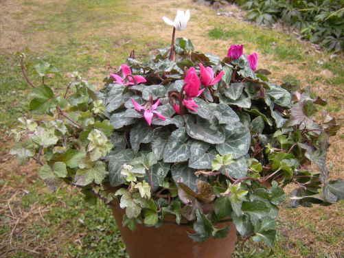 ガーデンシクラメンの ・・・ 寄せ植え ~_d0145675_1922189.jpg