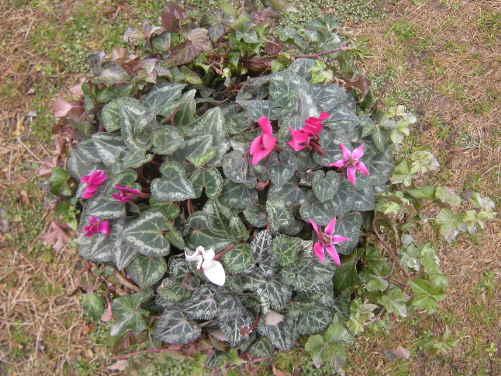 ガーデンシクラメンの ・・・ 寄せ植え ~_d0145675_1941457.jpg