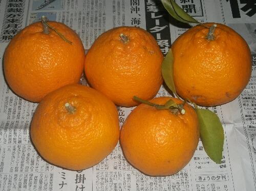 はるみの収穫@柑橘 _f0018078_1840984.jpg