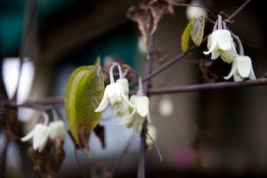 クレマチスの花...BOSS_e0068042_11561151.jpg