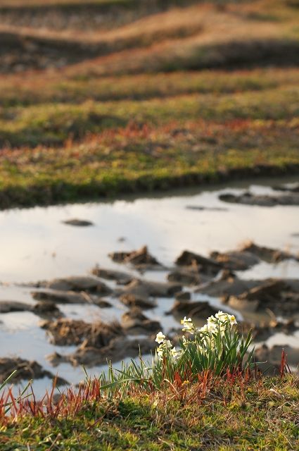 水仙の花の咲く頃 ~立春の大山千枚田~ 1_f0018464_210711.jpg