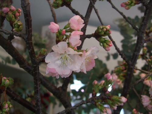 オークリーフ(黒い八重のクリスマスローズと、安行桜)_f0049672_17492844.jpg