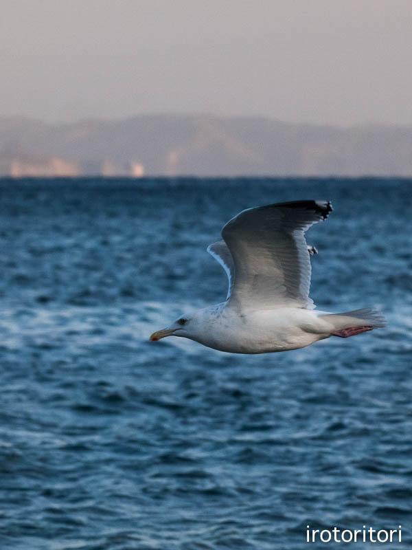 海です!!  (セグロカモメ?)  2013/02/08_d0146592_23505776.jpg
