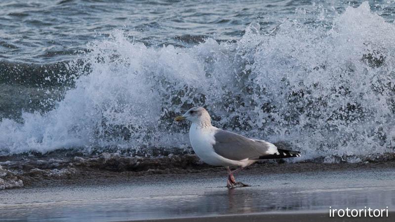 海です!!  (セグロカモメ?)  2013/02/08_d0146592_23514135.jpg