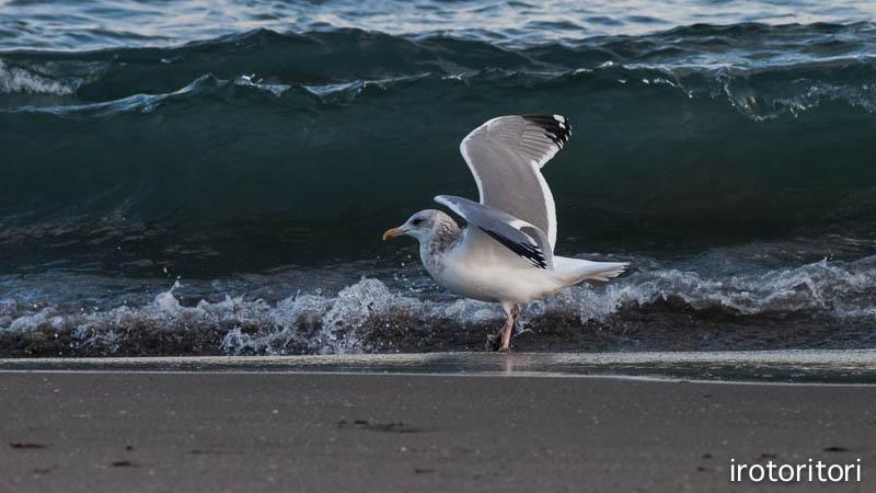 海です!!  (セグロカモメ?)  2013/02/08_d0146592_23515419.jpg