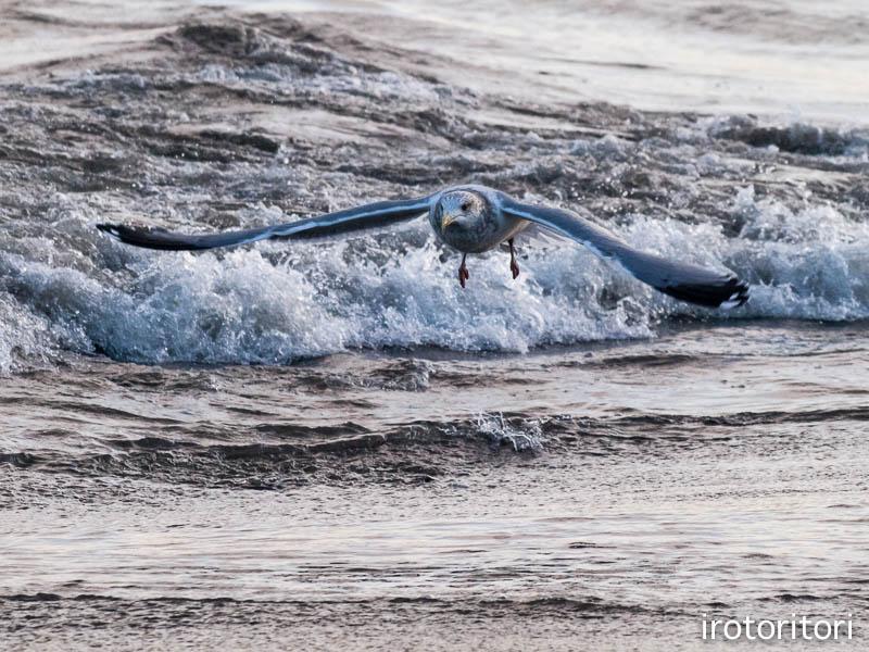 海です!!  (セグロカモメ?)  2013/02/08_d0146592_23521049.jpg