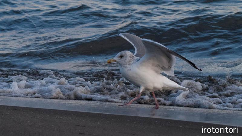 海です!!  (セグロカモメ?)  2013/02/08_d0146592_23521856.jpg