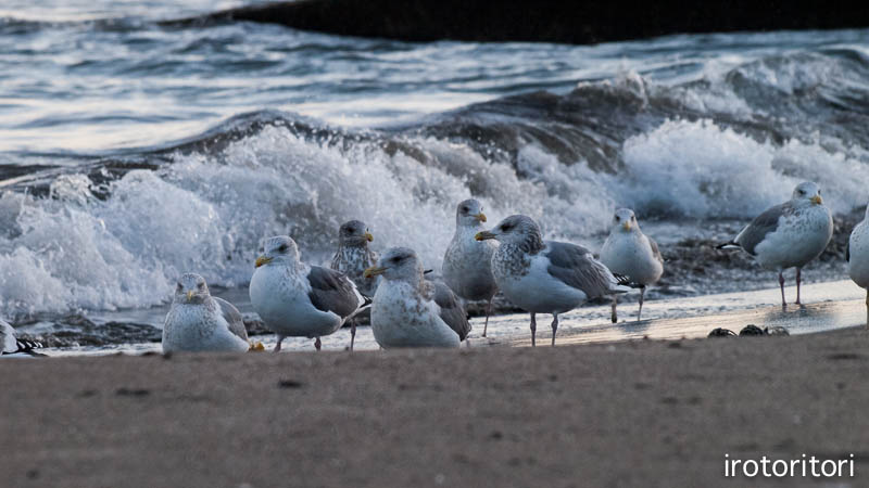 海です!!  (セグロカモメ?)  2013/02/08_d0146592_23522616.jpg