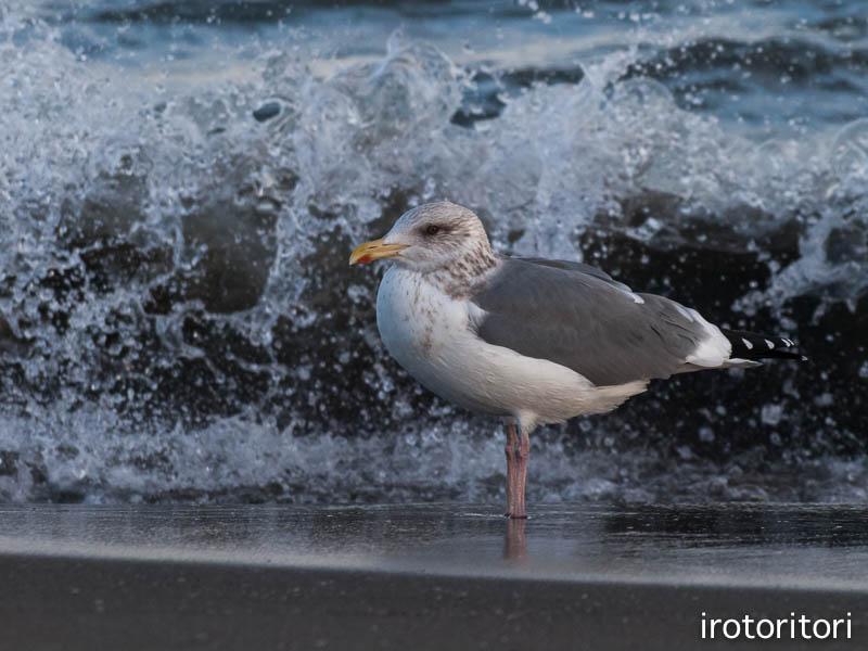 海です!!  (セグロカモメ?)  2013/02/08_d0146592_2352320.jpg