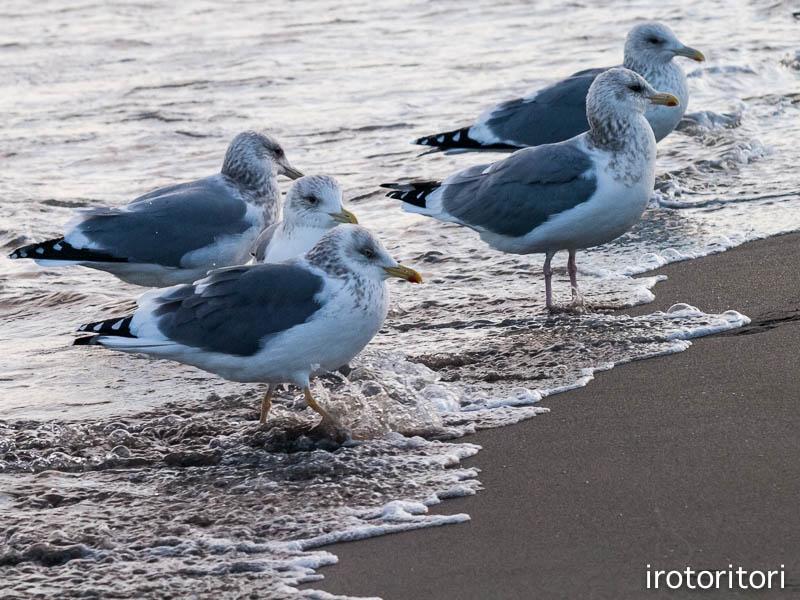 海です!!  (セグロカモメ?)  2013/02/08_d0146592_23523211.jpg