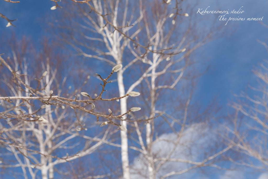冬の八ヶ岳と白樺林_c0137403_17253537.jpg