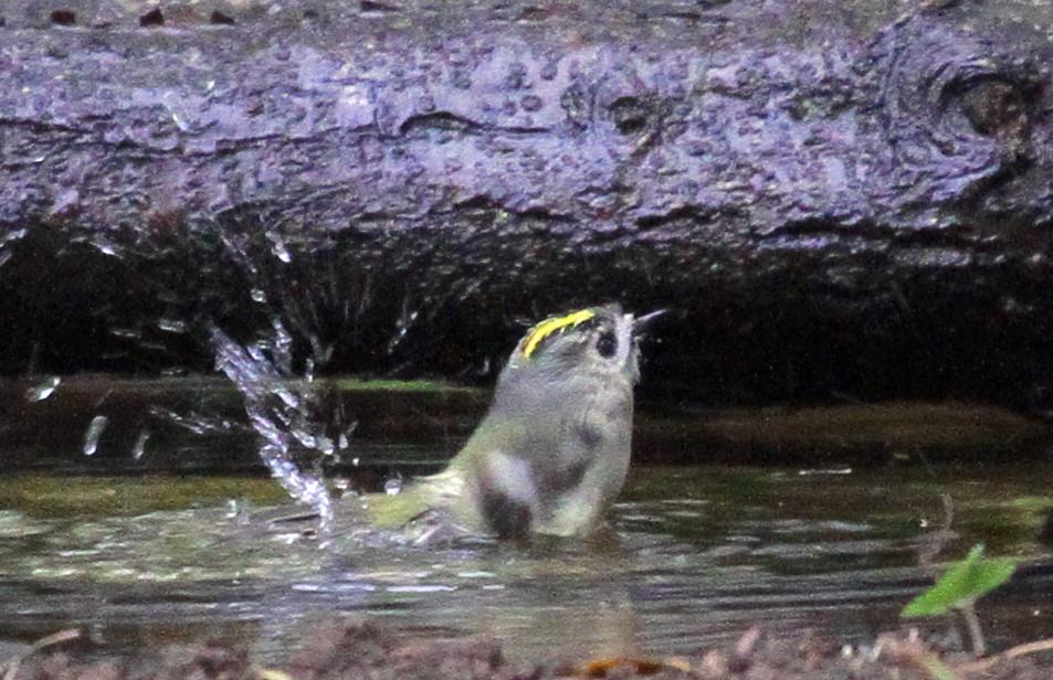 キクイタダキの「水浴び」_f0239515_19273149.jpg