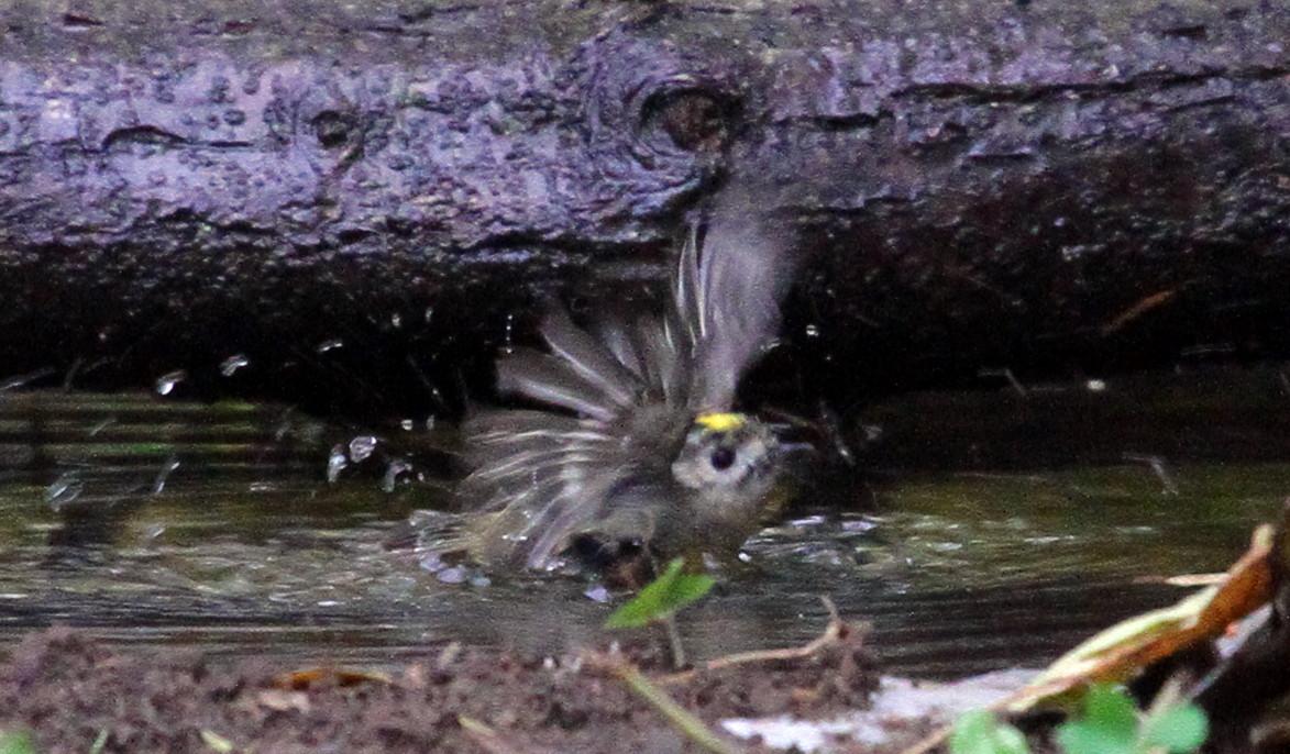キクイタダキの「水浴び」_f0239515_1937034.jpg