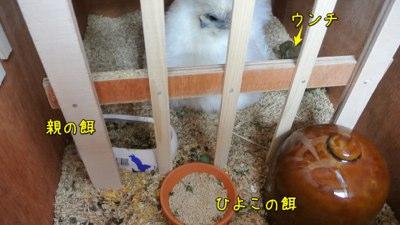 ウコちゃんのヒヨコお目見え!!_c0063348_21325798.jpg