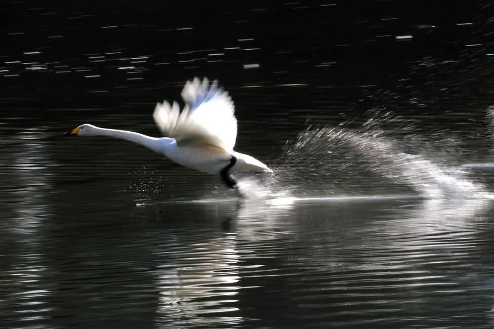 白鳥_b0223668_2132593.jpg