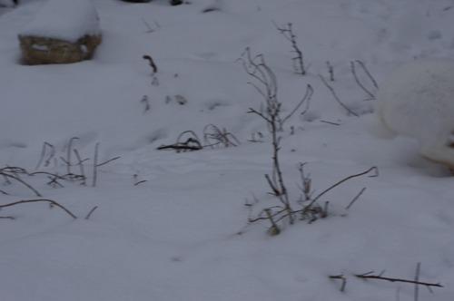 雪ウサギ_f0106597_1724785.jpg