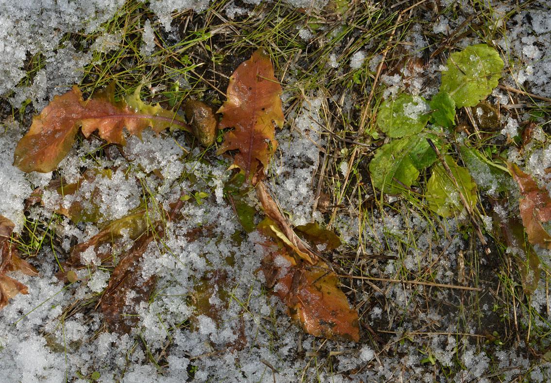 冬の雑草-6 雪の下のタンポポとハルジオン_d0163696_6104616.jpg