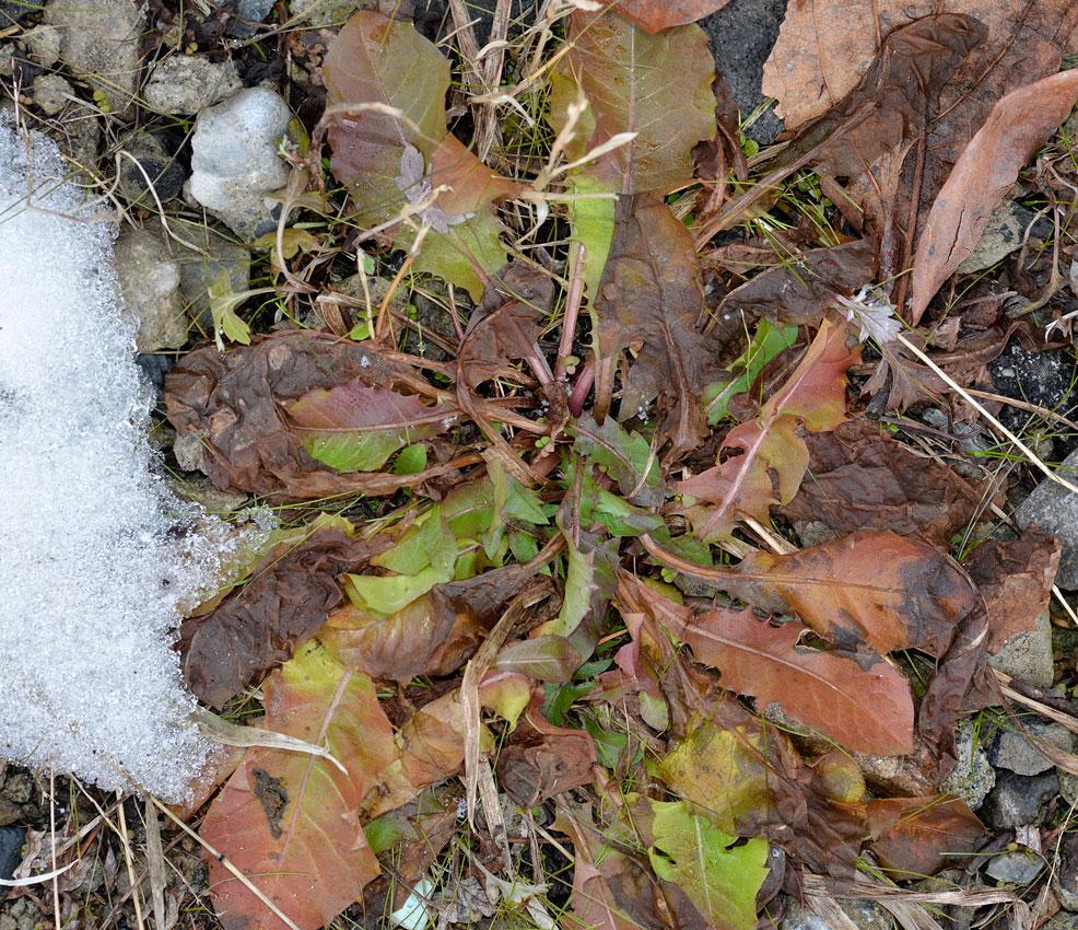 冬の雑草-6 雪の下のタンポポとハルジオン_d0163696_693866.jpg