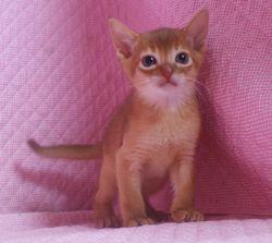 アビシニアン子猫  ルディ レッド ブルー家族募集 _e0033609_15504331.jpg