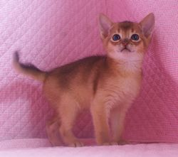 アビシニアン子猫  ルディ レッド ブルー家族募集 _e0033609_15515697.jpg
