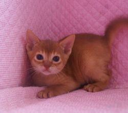 アビシニアン子猫  ルディ レッド ブルー家族募集 _e0033609_15524816.jpg