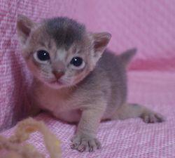 アビシニアン子猫  ルディ レッド ブルー家族募集 _e0033609_15544584.jpg
