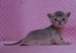 アビシニアン子猫  ルディ レッド ブルー家族募集 _e0033609_1555384.jpg