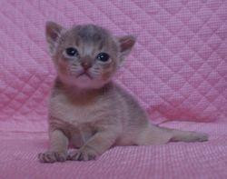 アビシニアン子猫  ルディ レッド ブルー家族募集 _e0033609_1556116.jpg