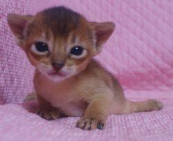 アビシニアン子猫  ルディ レッド ブルー家族募集 _e0033609_15564654.jpg