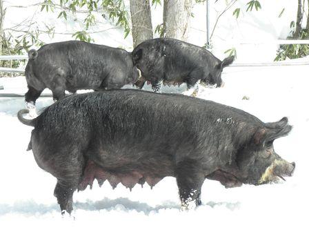 雪遊び大好き!龍泉洞黒豚_b0206037_1973129.jpg