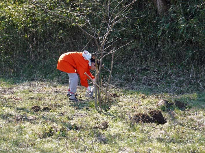 3年連続野口初太郎頌徳碑建立地の河津桜に肥料:2・11 _c0014967_12472018.jpg