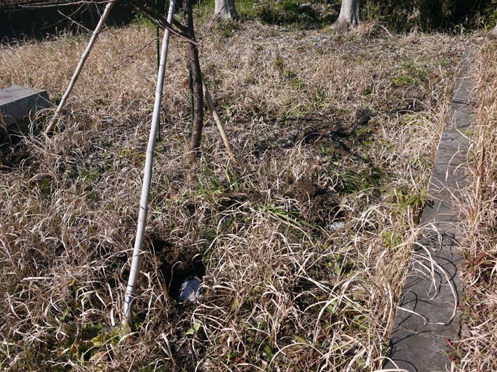3年連続野口初太郎頌徳碑建立地の河津桜に肥料:2・11 _c0014967_12503086.jpg